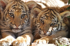Tigers relaxing Stock Image