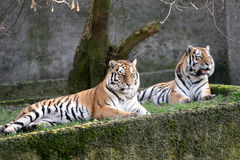 Tigers resting Stock Images
