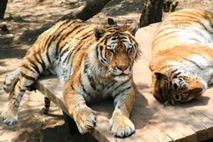 Tigers are resting. Animals striped predators. The family cat. The big cats Stock Photography