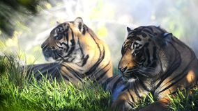 Tigers resting stock footage