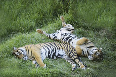Tigers resting Royalty Free Stock Photo