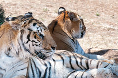 Tigers resting under the tree Stock Image