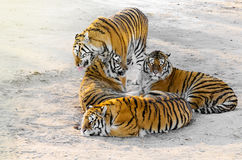 Tigers on the road. Royalty Free Stock Photos