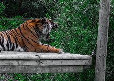 Tigers roar. Tiger in zoo roar and lie royalty free stock image