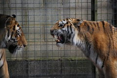 Tigers. Roaring in a cage Royalty Free Stock Photography