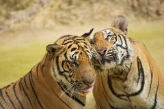 Tigers rub cheeks. The Indochinese tiger (Panthera tigris corbetti) is a tiger subspecies found in the Indochina region of Southeastern Asia stock image