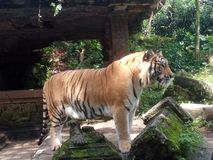 Tigers Standing tall in the park royalty free stock photography