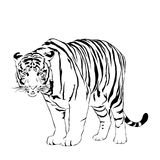 Tigers stare victim. Tiger walking, black and white, vector EPS10 Royalty Free Stock Photography