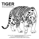 Tigers stare victim. Tiger walking, black and white, vector EPS10 Stock Image