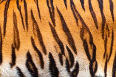 Tigers. Royalty Free Stock Photography