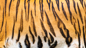 Tigers. Stock Images