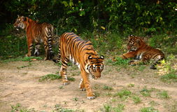 Tigers. Tiger feeding , resting, walking in the shadow of the trees Stock Images