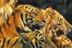 Tigers. Tiger grope team on cirkus. Thailand Stock Photography