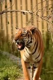 Tigers Royalty Free Stock Photography
