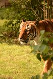 Tigers Royalty Free Stock Image