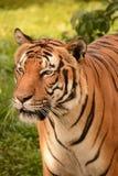 Tigers Stock Photo