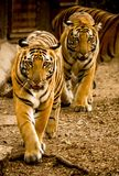 Twin Tiger in zoo nehru zoological park Stock Photo