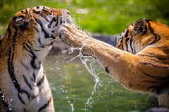 Tigers Royalty Free Stock Photos