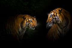 Tigers. Two bengal Tiger gaze each other at night Royalty Free Stock Image