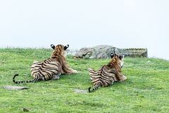 Tigers watching crocodile Royalty Free Stock Photo