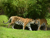 Tigers in the wild Stock Photography