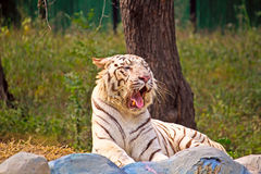 Tigers yawn Royalty Free Stock Image