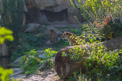 Tigers. In the zoo of Berlin Royalty Free Stock Images