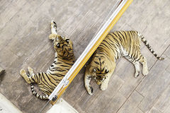 Tigers in a zoo Stock Image