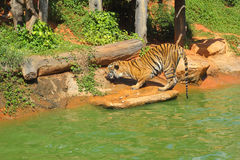 Tigers in zoos and nature Royalty Free Stock Images