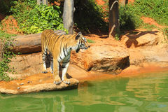 Tigers in zoos and nature.  Royalty Free Stock Image