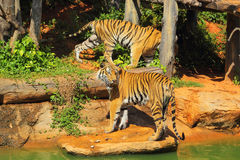 Tigers in zoos and nature.  Royalty Free Stock Photography