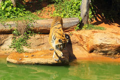 Tigers in zoos and nature.  Royalty Free Stock Photos