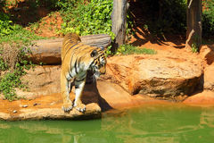 Tigers in zoos and nature.  Stock Photos