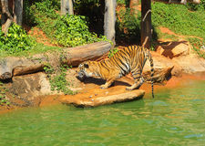 Tigers in zoos and nature Stock Photos
