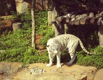 Tigers in zoos and nature.  Royalty Free Stock Photo