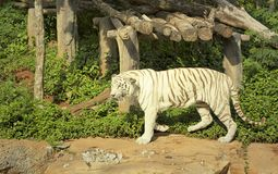 Tigers in zoos and nature Stock Photography
