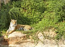 Tigers in zoos and nature.  Stock Images
