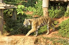 Tigers in zoos and nature.  Stock Photo