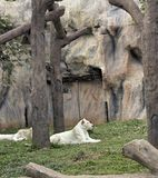 Tigers in zoos and nature.  Royalty Free Stock Images