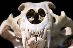 Tigerschädel Stockbild