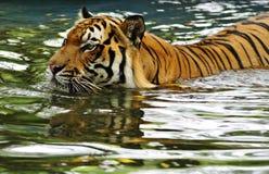 Tigerschwimmen in einem Fluss Stockfotos