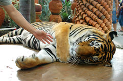 Tigershow Stockfotografie