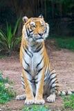 Tigersitzen Lizenzfreies Stockbild