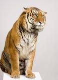 Tigersitzen Stockfotografie