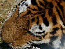 Tigerslut in på head äta för stund royaltyfri foto