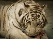 Tigersnack Stockfoto