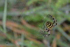 Tigerspinnen- oder -wespenspinne oder Argiope bruennichii stockfoto