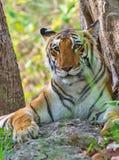 Tigerss dans sauvage Image libre de droits