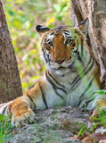 Tigerss in wild Royalty Free Stock Image