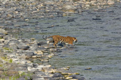 Tigerss in wild Stock Images